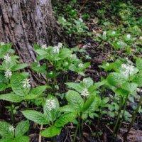 ヒトリシズカの花言葉|花の特徴や種類、変わった名前の由来は?の画像