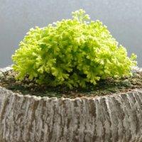 セラギネラの花言葉|種類や由来、観葉植物としておすすめ?の画像