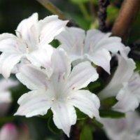 ハクチョウゲの花言葉|種類や由来、花の特徴は?の画像