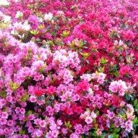 【写真付】サツキとツツジの違い|花や葉、開花時期、おしべの数での見分け方は?の画像