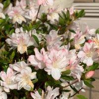 クルメツツジの花言葉|種類や花の特徴、室内で育てられる?の画像