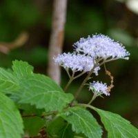 コアジサイの花言葉|花の特徴や香り、アジサイとの違いは?の画像