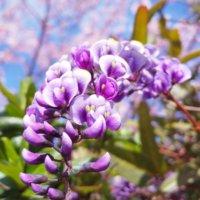 ハーデンベルギアの花言葉|種類や由来、つるの管理が大切?の画像