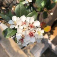 シャリンバイの花言葉|実や花の特徴、種類はどのくらい?の画像