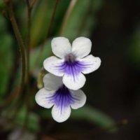 ストレプトカーパスの花言葉|意味や種類、花の特徴は?の画像