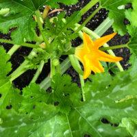 ズッキーニの花言葉|意味や種類、どんな花を咲かす?の画像