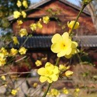 黄梅の花言葉|花の特徴や香り、梅と違うの?の画像