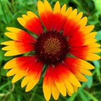 ガイラルディアの花言葉|意味や種類、花の特徴は?の画像