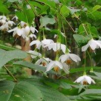 エゴノキの花言葉 種類や花の特徴、毒があるの?の画像