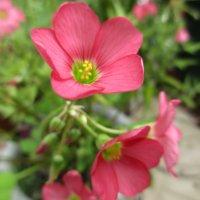 オキザリス・デッペイの花言葉|花の特徴や意味、地植えがおすすめ?の画像
