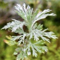 アサギリソウの花言葉|意味や種類、シルバーリーフとしておすすめ?の画像