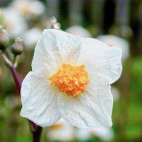 シラユキゲシ(白雪芥子)の花言葉 毒はある?一度繁殖すると大変?の画像