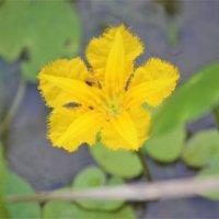 アサザの花言葉|花の特徴や意味、メダカと一緒に育てると良い?の画像