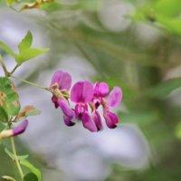 萩(ハギ)の花言葉|意味や由来は?花の季節や特徴、種類は?の画像