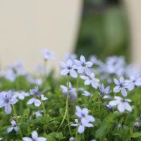 プラティアの花言葉|特徴や種類、グランドカバーで人気?の画像