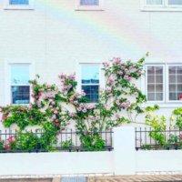 つるバラの剪定・誘引|冬と夏で方法が違う?上手に花を咲かせるコツは?の画像