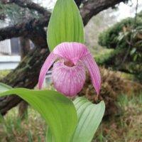 アツモリソウの花言葉|花の特徴や意味、貴重な花なの?の画像