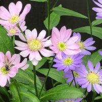 ミヤコワスレ(都忘れ)の花言葉|花の特徴や意味、種類は?の画像