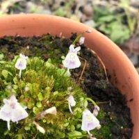 ウサギゴケの花言葉|花の特徴は?食虫植物って本当?の画像
