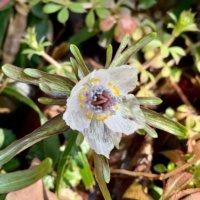 セツブンソウの花言葉|意味や花の特徴、節分の誕生花の画像