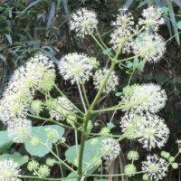 ウドの花言葉|意味や種類、おすすめの食べ方は?の画像