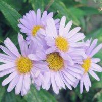 アスターの花言葉|意味や花の種類、ガーデニングにおすすめ!の画像