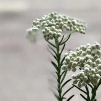 ライスフラワーの花言葉|意味や種類、ドライフラワーで人気!の画像