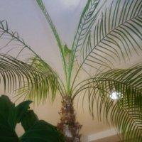 フェニックスの花言葉|意味や種類、インテリアにおすすめ!の画像