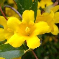 カロライナジャスミンの花言葉|意味や花の特徴、香りは?の画像