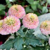 秋の旬の花といえば菊(キク)!かわいくておすすめ種類とステキなアレンジ例の画像