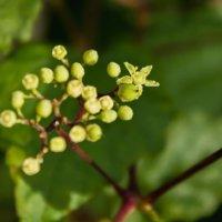 ノブドウの花言葉|花の特徴や意味、実は食べられるの?の画像