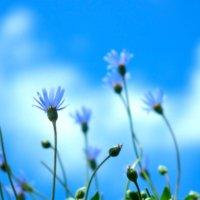 ブルーデージーの花言葉|名前の由来や、種類などもご紹介の画像