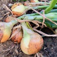 タマネギ(玉ねぎ)の育て方|プランターでの栽培方法は?収穫後の保存期間とは?の画像