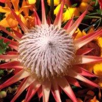 プロテアの花言葉 意味や花の種類、ドライフラワーにおすすめ!の画像