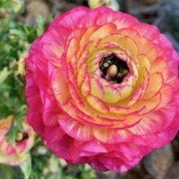 秋植え球根の種類|春に咲く人気品種12選!植えっぱなしOK?の画像