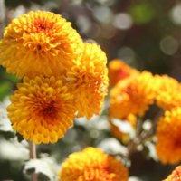 菊(キク)の花言葉|怖いって本当?色別の意味や種類、見頃の時期は?の画像