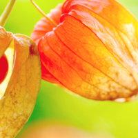 ホオズキの花言葉 花や実の特徴、意味や種類は?の画像