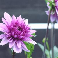 皇帝ダリアの花言葉|花の特徴や種類、変わった性質がある?の画像