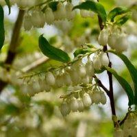 屋久島アセビの花言葉|意味や花の特徴、万葉集にも登場する植物?の画像