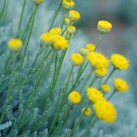 サントリナの花言葉 種類や意味、コンパニオンプランツで人気?の画像