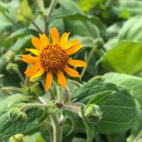ヤーコンの花言葉|花や実の特徴、食べ方は?の画像