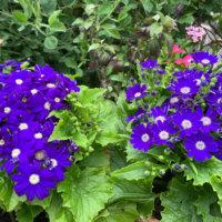 サイネリア(シネラリア)の花言葉|花の種類や色別の意味、アレンジメントで人気の画像