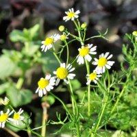 ジャーマンカモミールの花言葉|花の特徴や意味、種類はあるの?の画像