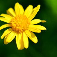ユリオプスデージーの花言葉 種類や意味、花の特徴は?の画像