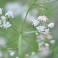 アスパラガスの花言葉|花の特徴や意味、種類はあるの?の画像