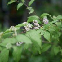 コムラサキの花言葉|花や実の特徴、実は食べられるの?の画像