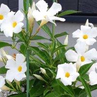 マンデビラの花言葉|花の特徴や種類、開花時期はどのくらい?の画像