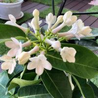 マダガスカルジャスミンの花言葉|意味や種類、花の特徴は?の画像