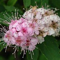 シモツケの花言葉|意味や花の特徴、種類はどれくらい?の画像