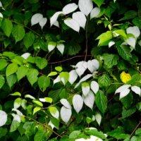 マタタビの花言葉 意味や由来、特徴は?の画像